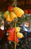 The cashew tree (<i>Anacardium occidentale</i>) is a tropical evergreen tree that produces the cashew seed and the cashew apple.<br/><br/>  It can grow as high as 14 metres (46 ft), but the dwarf cashew, growing up to 6 metres (20 ft), has proved more profitable, with earlier maturity and higher yields.<br/><br/>  The cashew seed is served as a snack or used in recipes, like nuts. The cashew apple is a light reddish to yellow fruit, whose pulp can be processed into a sweet, astringent fruit drink or distilled into liquor.<br/><br/>  The shell of the cashew seed yields derivatives that can be used in many applications from lubricants to paints, and other parts of the tree have traditionally been used for snake-bites and other folk remedies.<br/><br/>  Originally native to northeastern Brazil, the tree is now widely cultivated in Vietnam, Nigeria and India as major production countries.